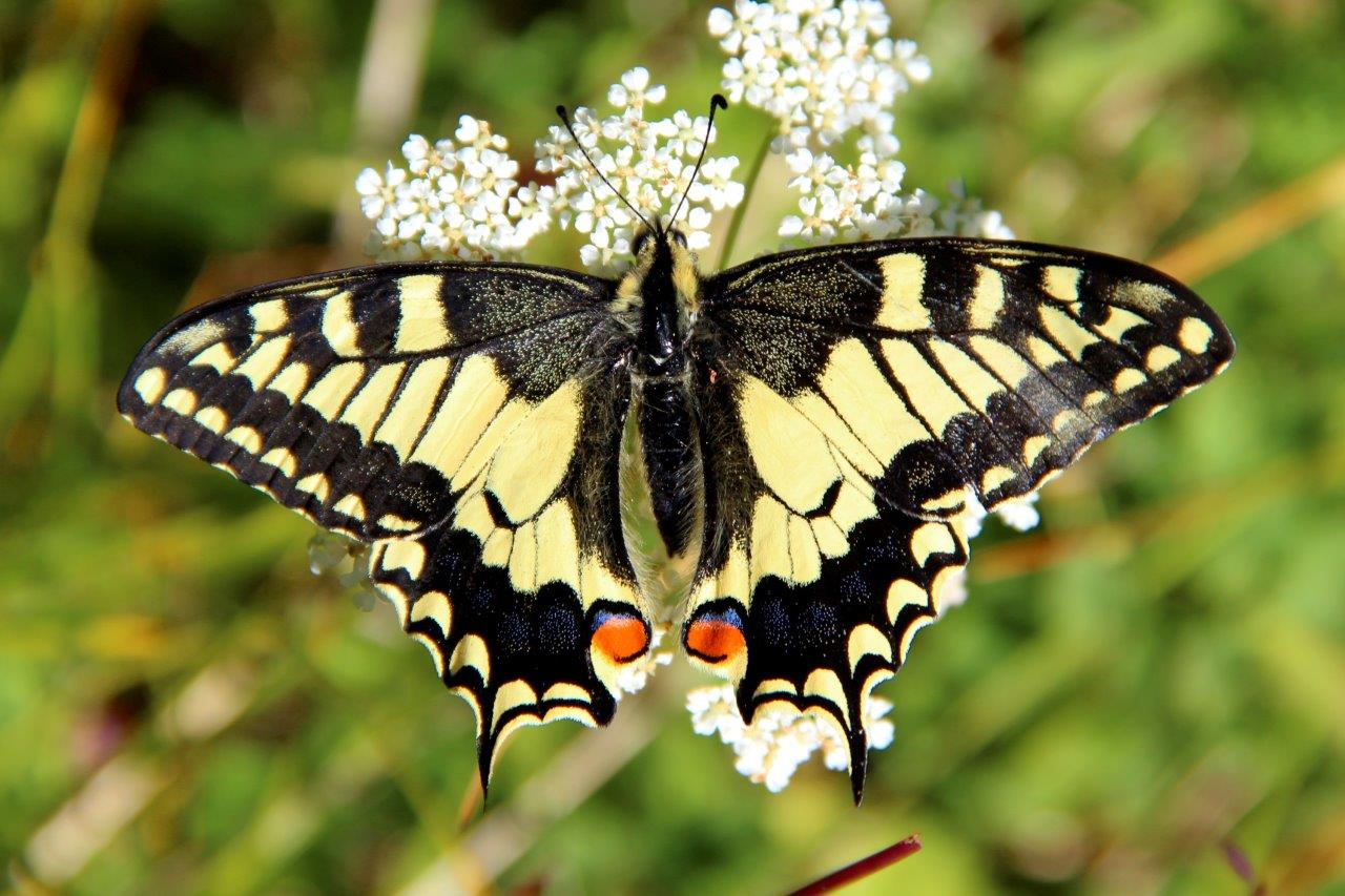 Papilio machaon Linnaeus, 1758_1